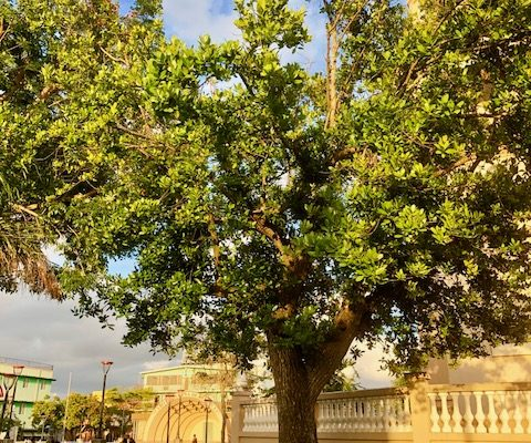 Tree with green leaves outside of colonial style church fence in Cabo Rojo, Puerto Rico. Blue Sky in background.